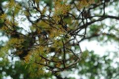 16-04-2018 Indonesia, liście swietenia macrophlla i nieba drzewo Obraz Stock