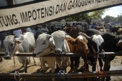 INDONESIA LIMITS AUSTRALIAN CATTLE IMPORT Stock Photo