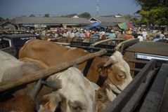 INDONESIA LIMITS AUSTRALIAN CATTLE IMPORT Stock Image