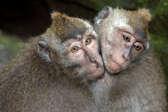 Indonesia macaque monkey ape close up portrait while cheek to cheek Royalty Free Stock Photography