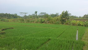 Indonesia Paddy Field Royalty Free Stock Images