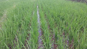 Indonesia Paddy Field Royalty Free Stock Photography