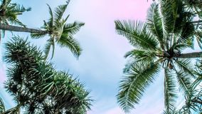 Indonesia Palm Tree Sky View Timelapse 4k. Timelapse of some palm trees, seen from underneath stock video footage