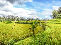 Indonesia - Rice field and clouds. Rice field shining in bright green colors in Indonesia.One sole palm tress marks it`s appearance on the endless fields of rise stock image