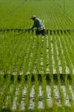 INDONESIA RICE PRODUCTION NEW TARGET Stock Images