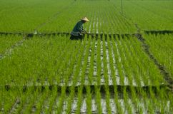 INDONESIA RICE PRODUCTION NEW TARGET Royalty Free Stock Images