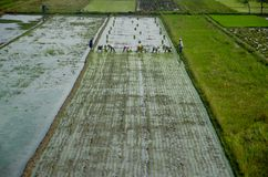 INDONESIA RICE PRODUCTION NEW TARGET Royalty Free Stock Photography