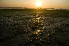 INDONESIA RICE PRODUCTION NEW TARGET Stock Photo