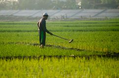 INDONESIA RICE PRODUCTION NEW TARGET Stock Photography