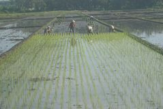 INDONESIA RICE PRODUCTION NEW TARGET Royalty Free Stock Photos
