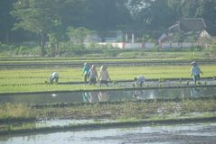 INDONESIA RICE PRODUCTION NEW TARGET Royalty Free Stock Photo