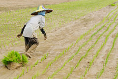 Indonesia, Rice-workers Stock Images
