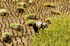 Indonesia, Rice-workers Stock Photography