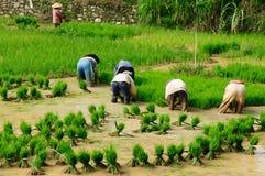 indonesia ryż pracownicy obrazy stock