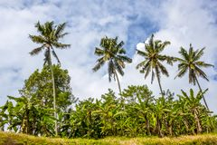 Four Palm Trees and Background with Blue Sky. Indonesia. A site of a tropical evergreen forest. A look from below on four coconut palms. Blue sky and clouds Royalty Free Stock Image