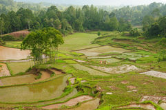 Indonesia, Sulawesi, Tana Toraja, Rice terraces Royalty Free Stock Photography