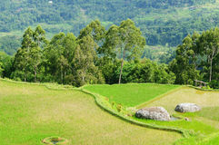 Indonesia, Sulawesi, Tana Toraja, Rice terraces Royalty Free Stock Photo