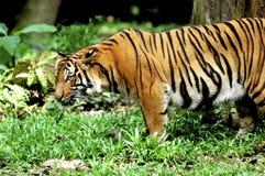 Indonesia; sumatra tiger stock photography