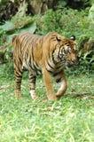 Indonesia; sumatra tiger stock photos