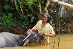 Indonesia - Traditional Tana Toraja tribal culture. Traditional Tana Toraja tribal culture. People wash water buffalo - symbol of Tana Torajat. Sulawesi Stock Photo