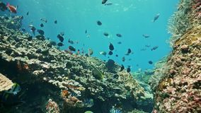 Indonesia Underwater World Reef Fish Slowmotion. Underwater video of a coral reef at Nusa Penida, Indonesia stock video footage