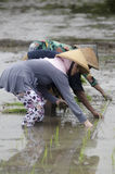 INDONESIA WOMAN AGRICULTURE LABOR FIELD WORKER. Rice planting by women at Gatak, Sukoharjo, Central Java, Indonesia. For centuries Indonesian women have involved Stock Photography