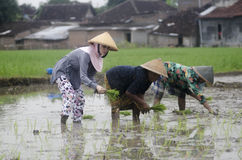 INDONESIA WOMAN AGRICULTURE LABOR FIELD WORKER. Rice planting by women at Gatak, Sukoharjo, Central Java, Indonesia. For centuries Indonesian women have involved Royalty Free Stock Photos