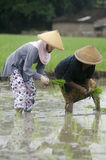 INDONESIA WOMAN AGRICULTURE LABOR FIELD WORKER. Rice planting by women at Gatak, Sukoharjo, Central Java, Indonesia. For centuries Indonesian women have involved Stock Image