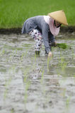 INDONESIA WOMAN AGRICULTURE LABOR FIELD WORKER. Rice planting by women at Gatak, Sukoharjo, Central Java, Indonesia. For centuries Indonesian women have involved Royalty Free Stock Image