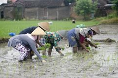 INDONESIA WOMAN AGRICULTURE LABOR FIELD WORKER. Rice planting by women at Gatak, Sukoharjo, Central Java, Indonesia. For centuries Indonesian women have involved Stock Photos