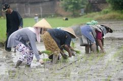 INDONESIA WOMAN AGRICULTURE LABOR FIELD WORKER. Rice planting by women at Gatak, Sukoharjo, Central Java, Indonesia. For centuries Indonesian women have involved Royalty Free Stock Photography