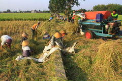 Indonesian Agricultural Growth. Farmers harvest rice planted in Solo, Java, Indonesia. Each year, agriculture growth in Indonesia increased rapidly due to Stock Photography