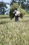 INDONESIAN AGRICULTURE INCOME Stock Photo