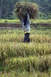 INDONESIAN AGRICULTURE INCOME Stock Photography