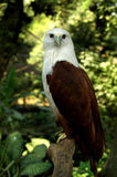 Indonesian bald eagle. Endangered Indonesia bald eagle (Holiostur Indus) in his habitat Stock Image