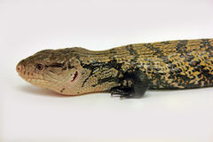 Indonesian Blue-tongued Skink Stock Images