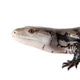Indonesian Blue-tongued Skink on white Royalty Free Stock Images