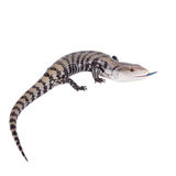 Indonesian Blue-tongued Skink on white Royalty Free Stock Photos