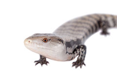 Indonesian Blue-tongued Skink on white. Indonesian Blue-tongued Skink, Tiliqua gigas, isolated on white background royalty free stock photos