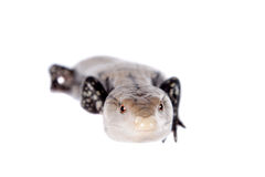 Indonesian Blue-tongued Skink on white Stock Photography