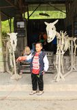 Boy taking photo with tawny owl. Indonesian boy posing in front two skeletons of cows with tawny owl - Strix aluco in Museum Mini Sisa Hartaku - museum of royalty free stock photography