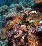Indonesian coral reef Stock Images