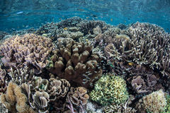 Indonesian Coral Reef Royalty Free Stock Images
