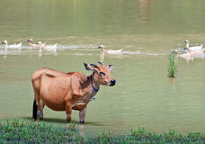 Cow standing in pond, Indonesia  Royalty Free Stock Photo