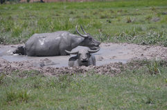 Indonesian Day Spa. Working ox bathing in a pool of mud Stock Photography