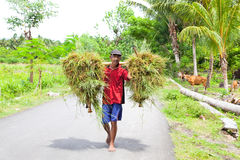 Indonesian farmer carrying grass .Lombok Royalty Free Stock Photo