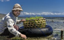 Indonesian farmer collecting grow seaweeds in a basket from his sea farm, Nusa Penida, Indonesia
