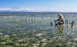 Indonesian farmer working in his sea farm for planting seaweed for cultivating more, Nusa Penida, Indonesia