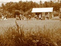 Indonesian Farmers. Field of rice farmers in Vietnam Royalty Free Stock Image
