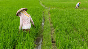 Indonesian farmers in the rice fields. Agricultura Royalty Free Stock Images